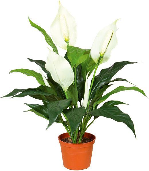 растения в фен-шуй, комнатные растения хорошо очищающие воздух